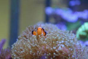 A tan sea anemone underwater, with a clownfish swimming in it, probably Nemo's cousin.