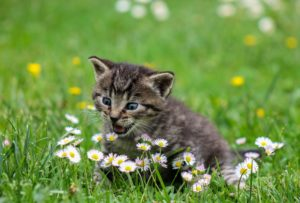 A beautiful kitten sits energetically in a grass lawn, nipping at small daisies.